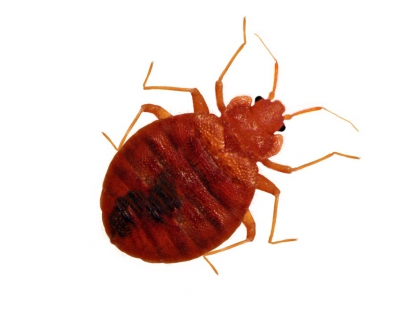 Get the Facts on Bedbugs