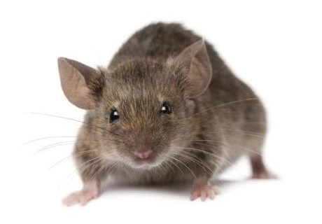 4 Easy Steps to Keep the Mice Away
